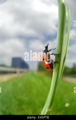 Sieben vor Ort Marienkäfer (Coccinella Septempunctata) klettern auf Grass Stamm, Deutschland - Stockfoto