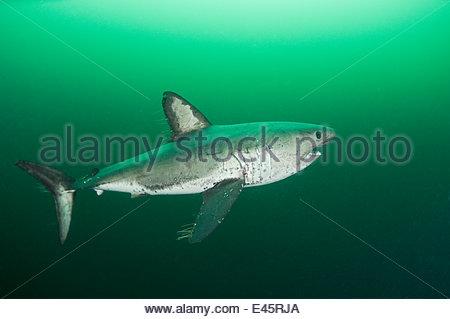 Lachs Hai (Lamna Ditropis) weibliche mit Paarung Narbe auf Seite und Ruderfußkrebsen Parasiten streaming von Flossen, - Stockfoto