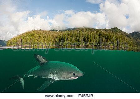 Lachs-Hai (Lamna Ditropis) weibliche mit Paarung Narben und Ruderfußkrebsen Parasiten nachgestellte von Flossen, - Stockfoto