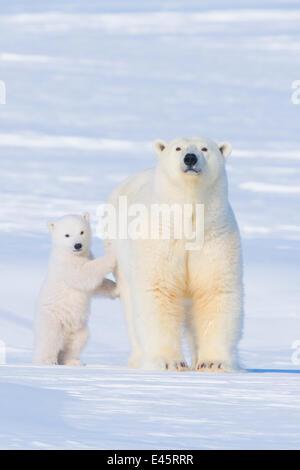 Porträt der Eisbär (Ursus Maritimus) Sau stehend mit ihr junges auf dem Schnee im Spätwinter, arktischen Küste Alaskas - Stockfoto