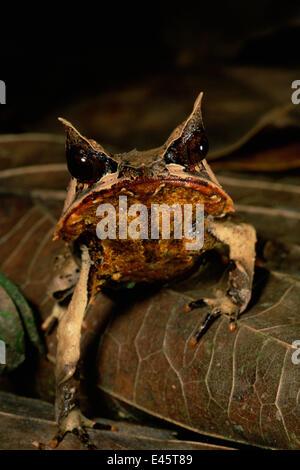 Kopfporträt Bornean gehörnten Frosch (Megophrys Nasuta) unter der Laubstreu im Tiefland-Regenwald von Borneo. Danum - Stockfoto