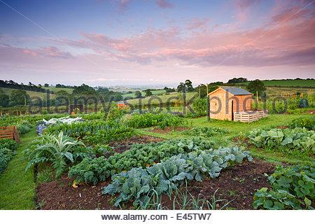 Gemüse wächst auf einem ländlichen Zuteilung, Morchard Bischof, Devon, England. Juli 2009 - Stockfoto