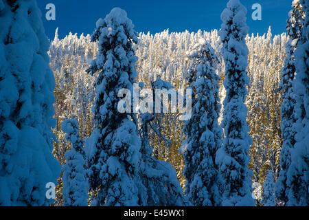 Nadelbäume, beladen mit Schnee in Taiga-Wäldern, Lappland, Finnland, März 2007 - Stockfoto