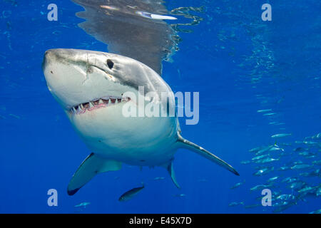 Weißer Hai (Carcharodon Carcharias) Porträt, Insel Guadalupe, Mexiko, Pazifischen Ozean. - Stockfoto