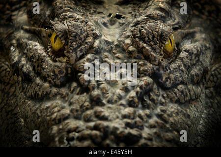 Salzwasser-Krokodil (Crocodylus Porosus) Großaufnahme Porträt, Sarawak, Borneo, Malaysia - Stockfoto
