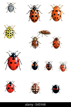 Darstellung der britischen einheimischen Marienkäfer.  Von oben links nach rechts: 16 oder 16-Punkt-Marienkäfer - Stockfoto
