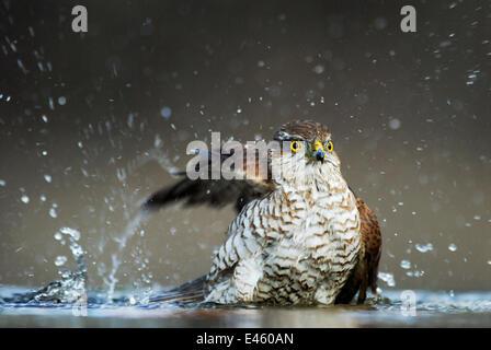 Eurasische Sperber (Accipiter Nisus) weiblich Baden, Ungarn - Stockfoto