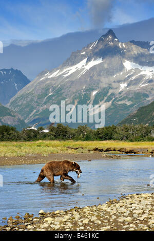 Grizzly Bär (Ursus Arctos Horribilis) zu Fuß durch einen Fluss mit Gefangenen Lachs gegen eine bergige Landschaft - Stockfoto