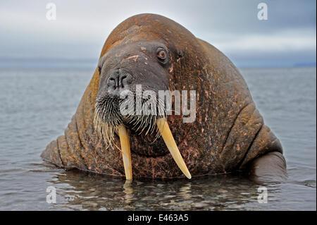 Männliche Walross (Odobenbus-Rosmarus) im flachen Wasser. Spitzbergen, Norwegen, August. - Stockfoto