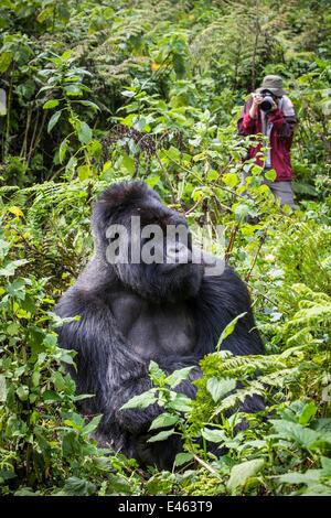 Mountain Gorilla Silberrücken, männlichen namens Munyinya (Gorilla Beringei) mit touristischen nehmen Foto, Teil - Stockfoto