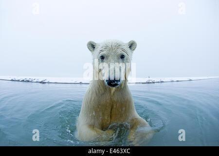 Junge Polar Bär (Ursus Maritimus) in das Wasser entlang der Küste von der Beaufortsee, Bernard Spit ab 1002 Bereich - Stockfoto