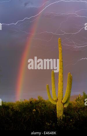 Saguaro-Kaktus (Carnegiea Gigantea) gegen Monsun Sommerhimmel mit Regenbogen und Streifen des Blitzes. Sonora-Wüste, - Stockfoto