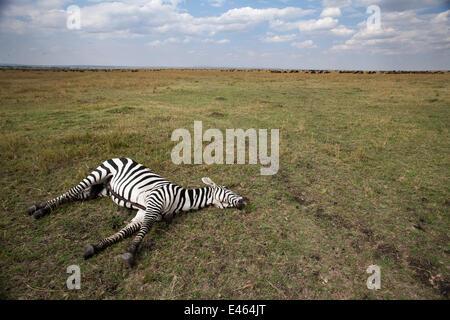 Gemeinsame oder Ebenen Zebra (Equus Quagga Burchellii) liegt tot auf der Savanne Grünland, Masai Mara National Reserve, - Stockfoto