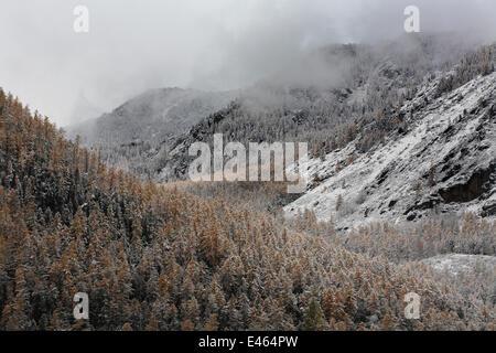 Die oberen Waldgürtel im Altai-Gebirge nach dem ersten Schneefall, Katunsky Bereich mit sibirischen Lärchen (Larus - Stockfoto