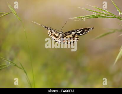 Zitrus-Schwalbenschwanz (Papilio Demolius) während des Fluges, kontrollierten Bedingungen, heimisch in Süd- und - Stockfoto