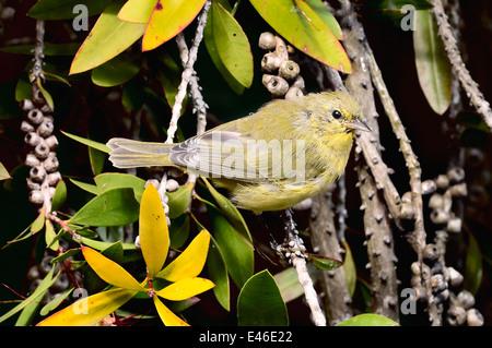 Orange-gekrönter Warbler - Vermivora celata - Stockfoto