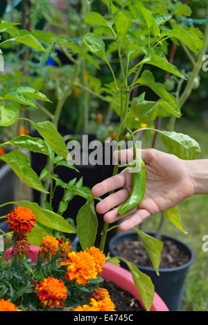 Frau kümmert sich um die Neugeborenen Bio-Gemüse im Hausgarten. - Stockfoto