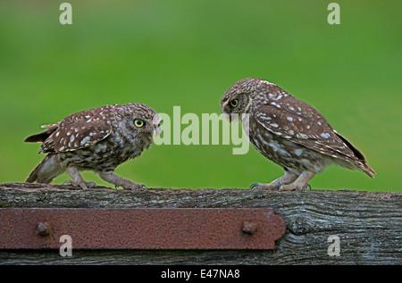 Männliche und weibliche kleine Eulen-Athene Noctua, thront auf ein altes Tor, Sommer, Uk. - Stockfoto