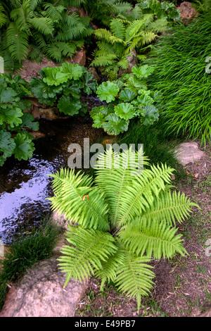 rodgersia tabularis stockfoto bild 62116317 alamy. Black Bedroom Furniture Sets. Home Design Ideas
