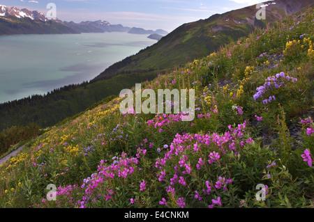 Ansicht von Wildblumen und Resurrection Bay vom Mt Marathon, Seward, Alaska. - Stockfoto