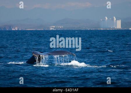 Der Schweif eines Buckelwal verschwindet in den Ozean in der Nähe von Mazatlan, Sinaloa, Mexiko.
