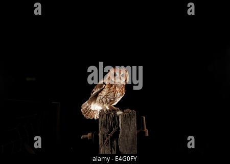Tawny Eule, Strix Aluco, setzte sich auf einen alten Zaunpfahl, UK - Stockfoto