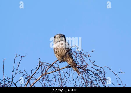 Nördlichen Sperbereule (Surnia Ulula) thront in Baum - Stockfoto