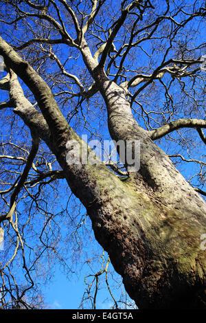 Alten London Platane (Platanus X hispanica) nach dem Verlust der Blätter im Winter mit einem klaren blauen Himmel - Stockfoto