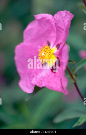 Rock Rose, Cistus Purpureus. - Stockfoto