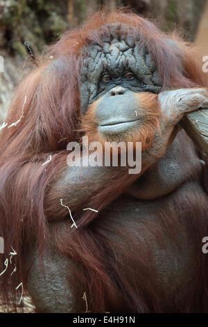 Porträt von Bornean Orangutan, Pongo Pygmaeus, einen Riesenaffen native auf der Insel Borneo - Stockfoto