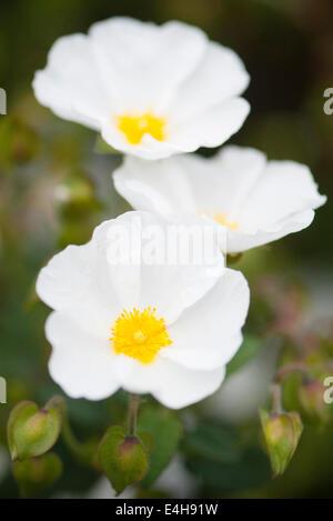 Rock Rose, Cistus Corbariensis. - Stockfoto