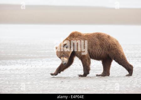 Grizzly Bear überqueren Wattenmeer in Alaska - Stockfoto