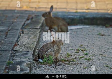 Zwei europäische Kaninchen / gemeinsame Kaninchen (Oryctolagus Cuniculus) sitzen auf der Straße - Stockfoto