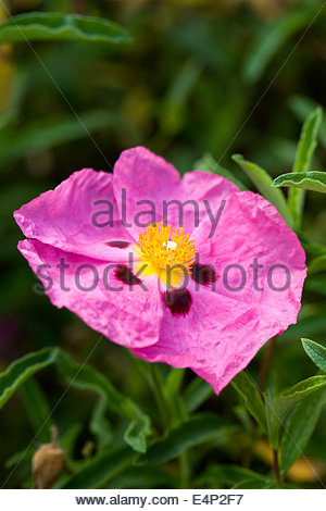 Cistus Purpureus. Lila blühenden Rock Rose. - Stockfoto