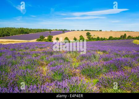 Lavendel und Weizen Feld mit Baum in der Provence, Frankreich - Stockfoto