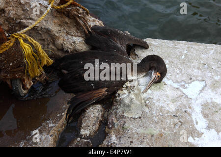 Tot Guanay Kormoran (Phalacrocorax Bougainvillii) im Hafen von Arica, Chile - Stockfoto