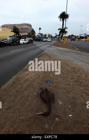 Tot Guanay Kormoran (Phalacrocorax Bougainvillii) liegen neben der Straße, Arica, Chile - Stockfoto