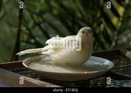 Kanarienvogel in Vögel Baden - Stockfoto