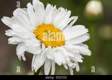 Makro-Mittelpunkt auf der Blume auf Euphorbia Characias. Der weiße ...