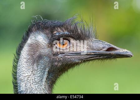 Porträt des australischen Emu (Dromaius Novaehollandiae) - Stockfoto