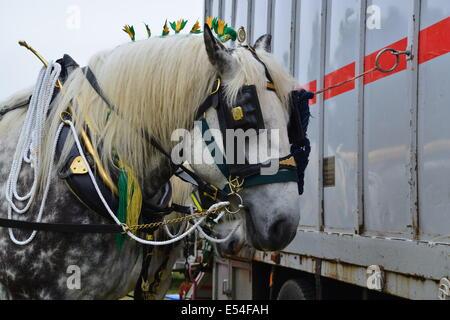 Schweres Pferd mit Tack und Flüge in die Mähne - Stockfoto
