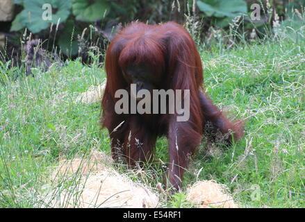 Reife Frauen (Bornean) Orang-Utan (Pongo Pygmaeus) Wandern - Stockfoto
