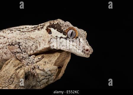 Wasserspeier Gecko (Rhacodactylus Auriculatus) Erwachsenen, Nahaufnahme des Kopfes und Bein ruht auf Ast (Captive) - Stockfoto