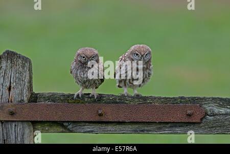 Paar kleine Eulen (Nestlingszeit)-Athene Noctua Perched auf ein altes Tor, Sommer, Uk. - Stockfoto