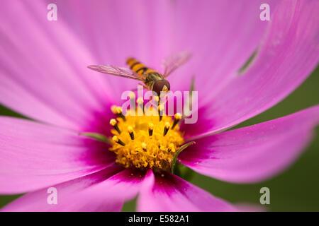 Hoverfly (Syrphidae) thront auf der Blume einen Sonnenhut (Echinacea spp.), Niedersachsen, Deutschland - Stockfoto