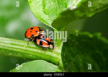Zwei Marienkäfer Coccinella Septempunctata Paarung - Stockfoto