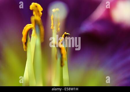 Die Lilie ist eine mehrjährige Blume und haben mehrere bunte Staubblätter im Herzen der Blüte Blüte. - Stockfoto