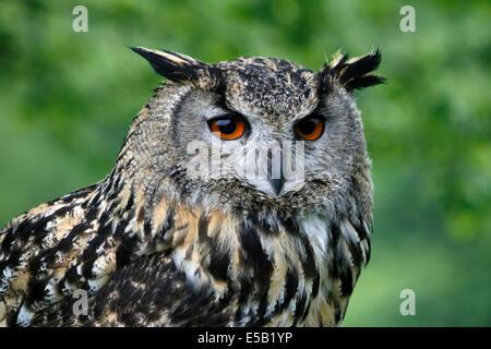 Europäische Uhu (Bubo Bubo), aufgenommen in Wales, UK. - Stockfoto