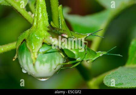 Makro von zwei Grashüpfer sind Zucht durch Erhängen Auberginen; selektiven Fokus auf Augenhöhe mit großen Heuschrecke - Stockfoto