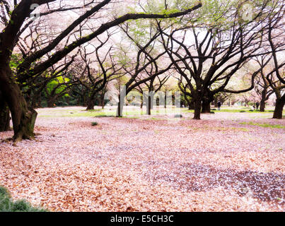 Gyōen Nationalgarten während der Kirschblüte in Shinjuku, Tokio, Japan 2014 - Stockfoto